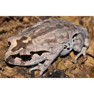 A preliminary checklist on amphibian species in Kuiburi national park