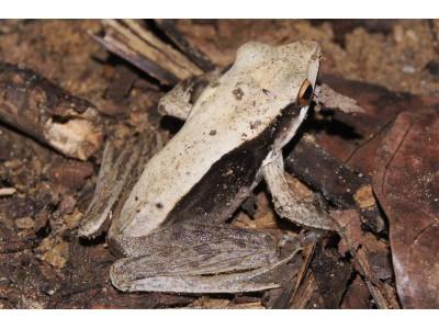 กบเขาสูง  (Clinotarsus alticola)