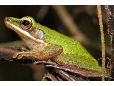 กบเขาหลังตอง (Hylarana eschatia)