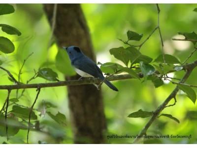 นกจับแมลงจุกดำ (Hypothymis azurea)
