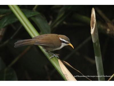 นกระวังไพรปากเหลือง (Pomatorhinus schisticeps)