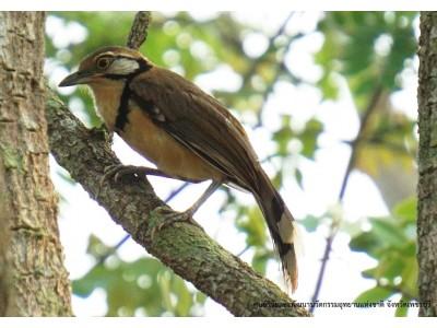 นกกะรางสร้อยคอใหญ่ (Garrulax pectoralis)