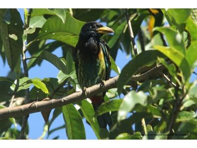 นกตั้งล้อ (Megalaima virens)
