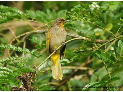 นกปรอดคอลาย (Pycnonotus finlaysoni)