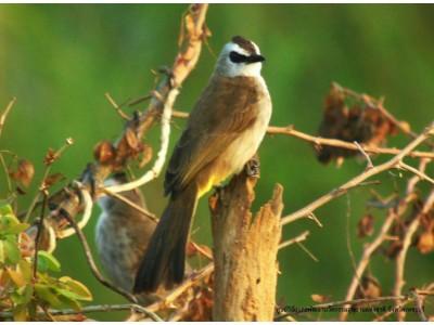 นกปรอดหน้านวล (Pycnonotus goiavier)