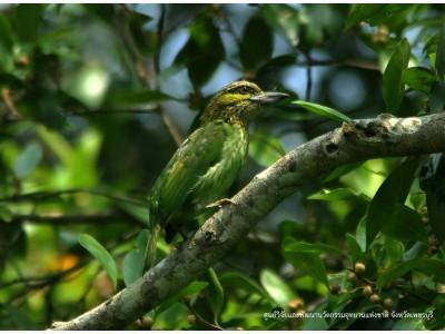 นกโพระดกหูเขียว (Megalaima faiostricta)