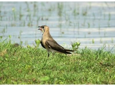 นกแอ่นทุ่งใหญ่ (Glareola maldivarum)