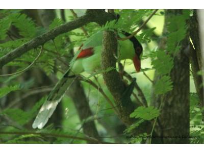 นกสาลิกาเขียว (Cissa chinensis)
