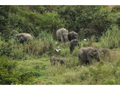 ช้างป่า (Elephas maximus)