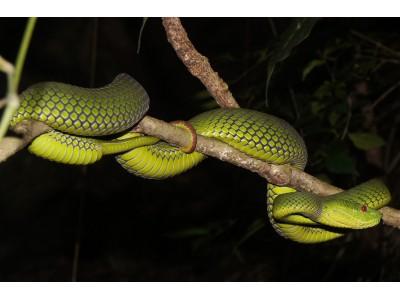 งูเขียวหางไหม้ท้องเหลือง (Cryptelytrops albolabris)
