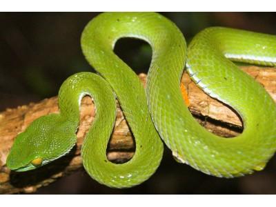 งูเขียวหางไหม้ตาโต  (Cryptelytrops macrops)