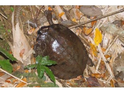 เต่าใบไม้พม่า (Cyclemys oldhami)