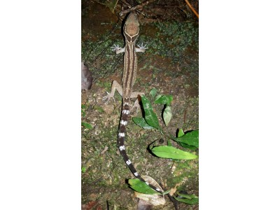 Oldham's Bent-toed Gecko (Cyrtodactylus oldhami)