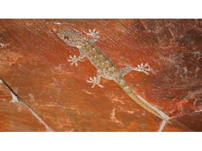 Sandstone Gecko (Gekko petricolus)