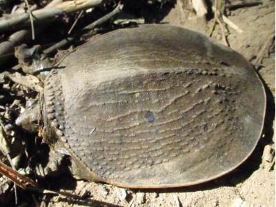 ตะพาบแก้มแดง  (Dogania subplana)