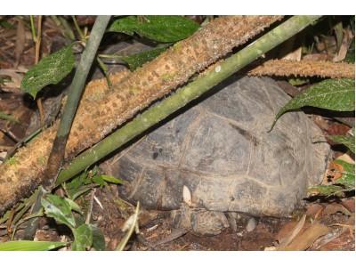 เต่าหกดำ (Manouria emys)