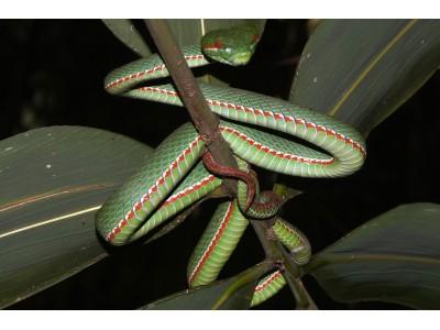 งูเขียวหางไหม้ท้องเขียว (Popeia popeiorum)