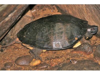 เต่าดำ (Siebenrockiella crassicollis)