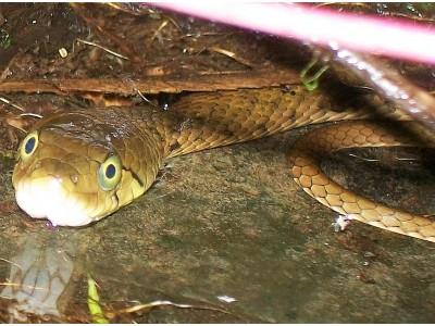 งูลายสอสวน (Xenochrophis flavipunctatus)