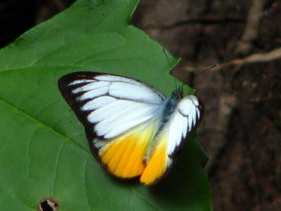 Orange Gull (Cepora iudith)