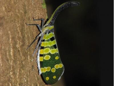จั๊กจั่นงวง (Pyrops spinolae)