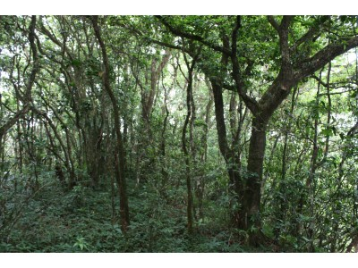 Hill evergreen forest (Kaeng Krachan NP)