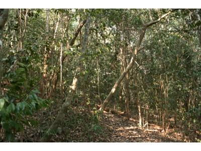 Lowland Dry Evergreen forest, Prachaubkirikhan