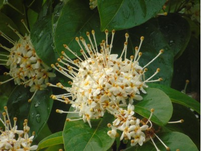 Reevesia pubescens Mast. var. siamensis (Craib) Anthony