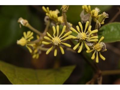 กวางดูถูก Naravelia laurifolia Wall.