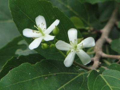 จันทน์หอม Mansonia gagei J. R. Drumm.