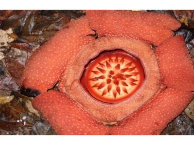 Rafflesia kerrii Meijer
