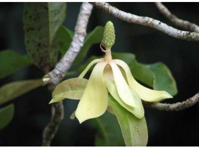 Magnolia utilis (Dandy) V. S. Kumar