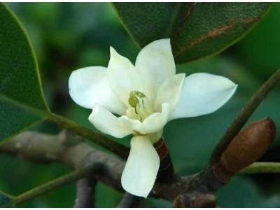Magnolia mediocris (Dandy) Figlar