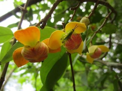 Mitrephora keithii Ridl.