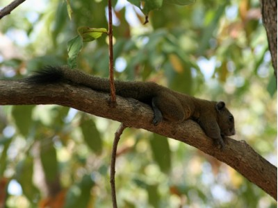 Grey-bellied Squirrel (Callosciurus caniceps)
